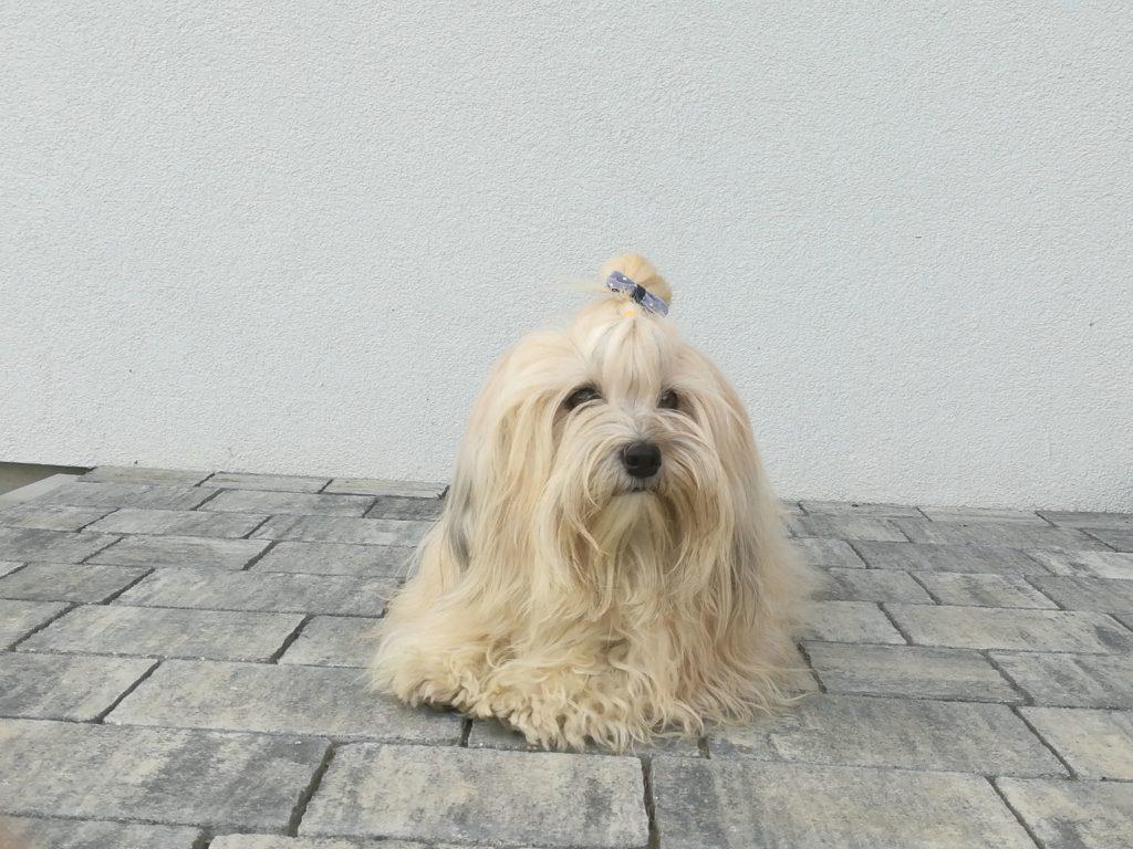 Hawańczyk pies z włosem dla alergika